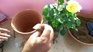 How to care rose plant?