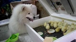 самоед и цыплята