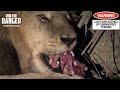 Male Lion Scavenging An Impala