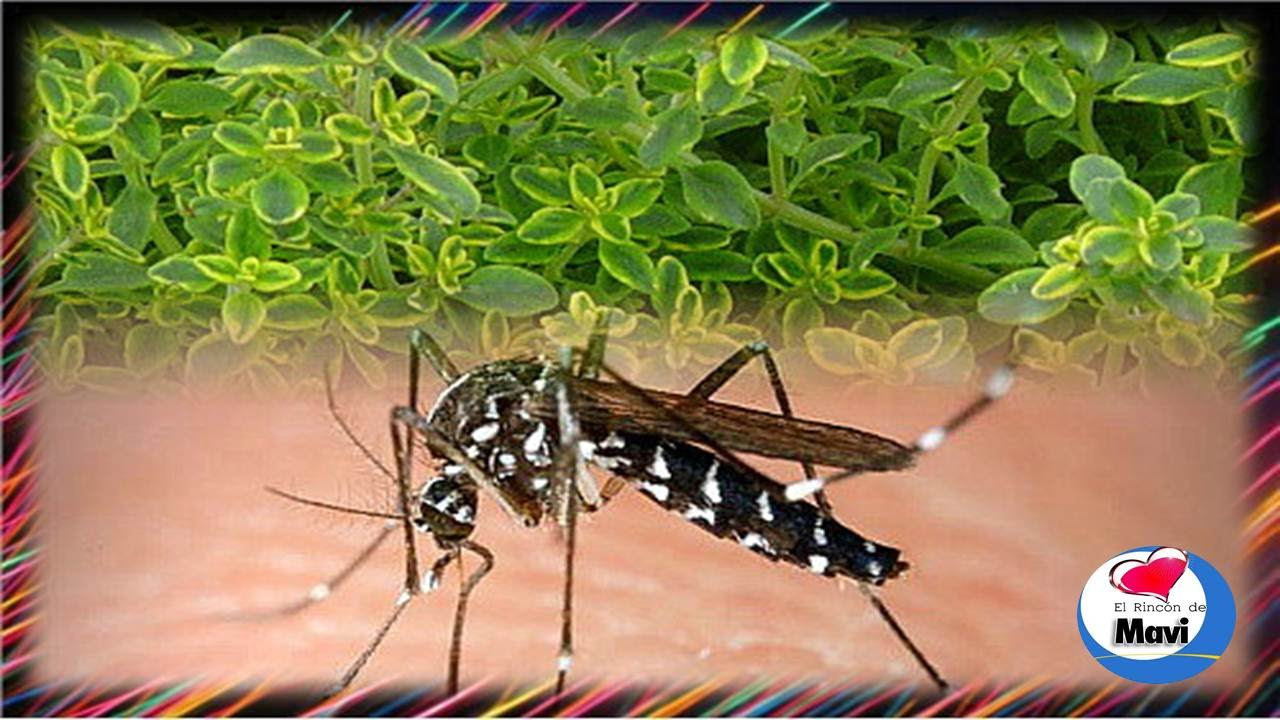Plantas repelentes de mosquitos y otros insectos youtube - Plantas para ahuyentar insectos ...