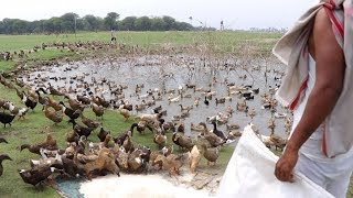 Duck Farming in Indian villages | Village Duck formers lifestyle