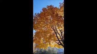 Золотая осень. Природа радует красотой. Киев. 16.10.2019 г