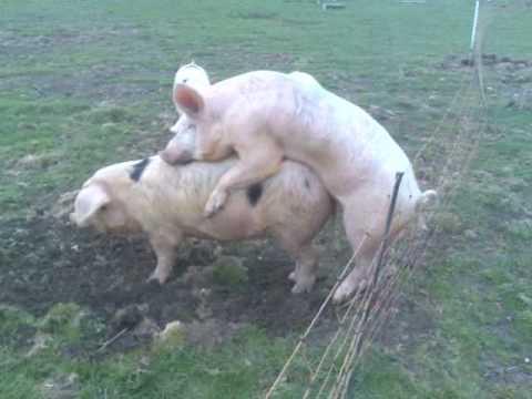 Schwein vs. Elektrozaun