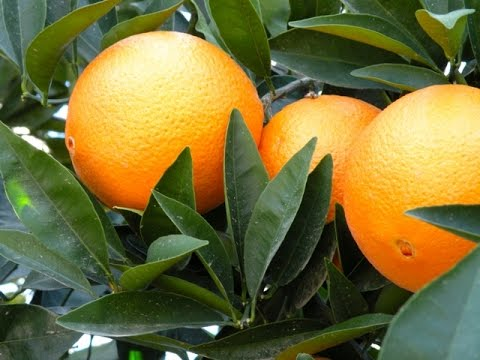 Growing State of the California Citrus Industry