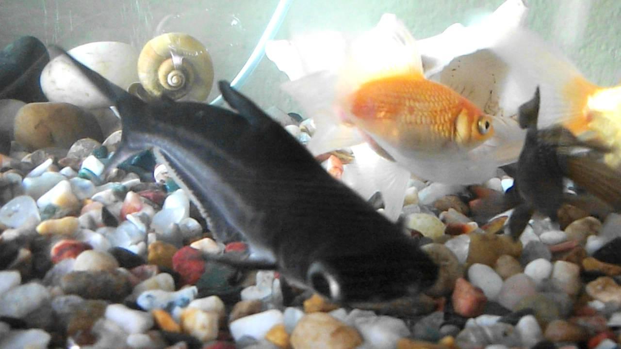 One eyed shark fish in aqurium avi youtube for One eyed fish
