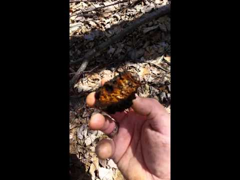 The Life Cycle of Birch & Chaga Part 2