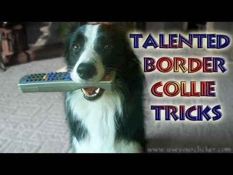 Nana the Talented Border Collie