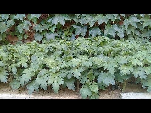Хризантема. высадка рассады, прищипывание, размножение.