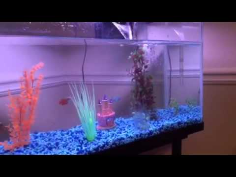 Aggressive Gourami Fish Taking Out Of Tank