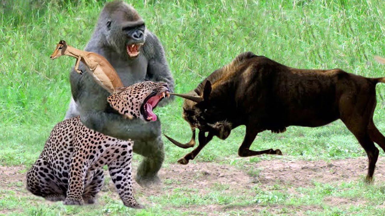 Gorilla Of The God, Power Of Mother Animals - Gemsbok Save Baby From Cheetah, Lion vs Warthog, Hyena