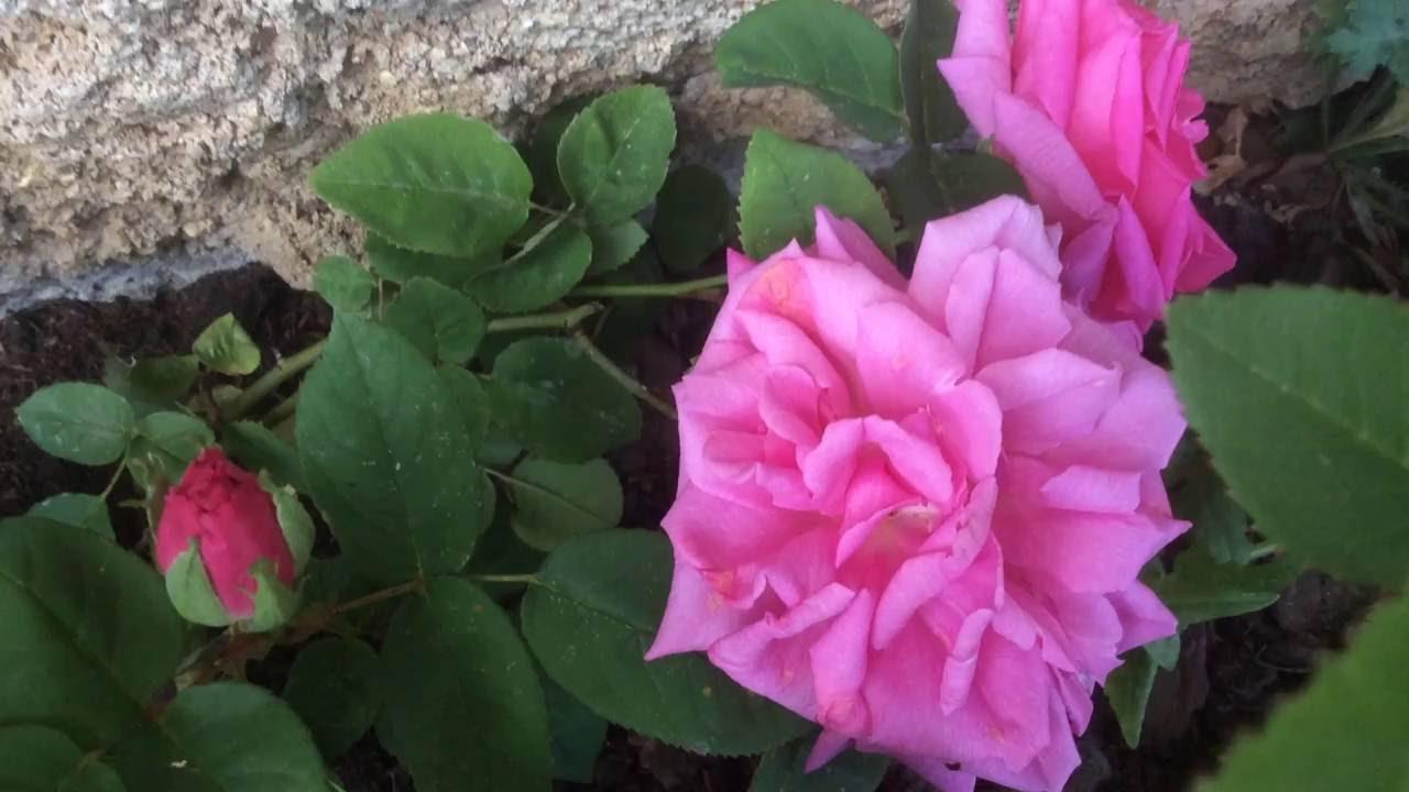Zephirine Drouhin Climbing Rose rose 'zéphirine drouhin' l'essence du parfum - youtube