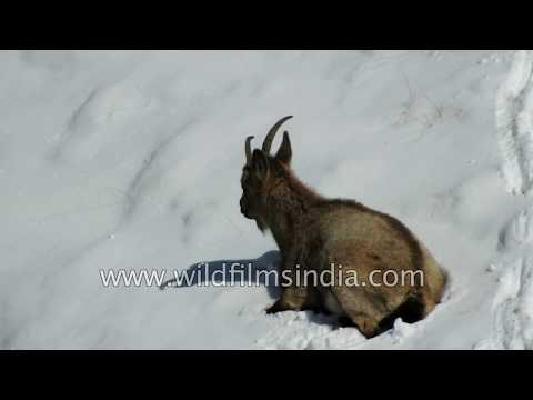 Ibex forage and dig for scarce winter grass in deep Himalayan snow pack