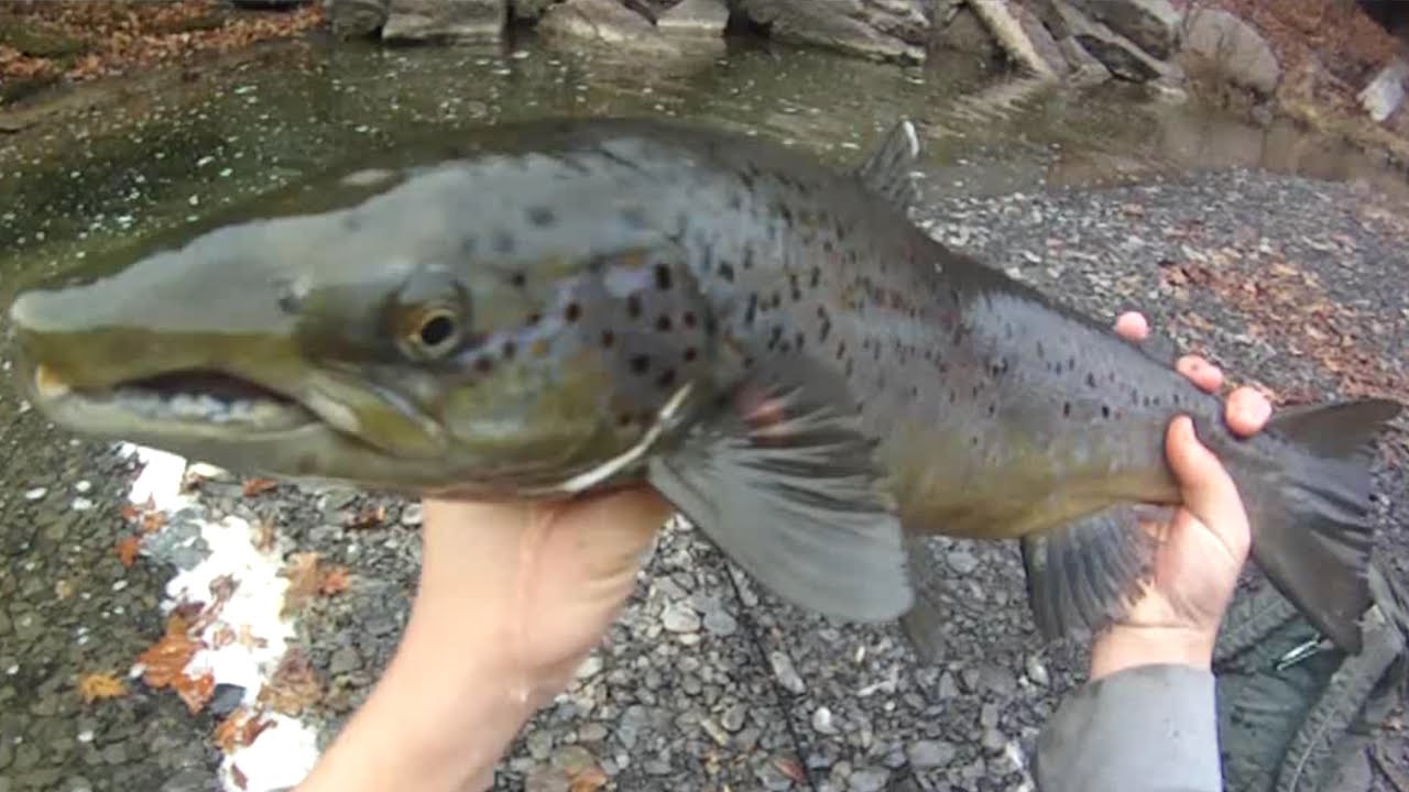 bait fishing #122 - creek fishing for inland atlantic salmon (26.5, Fly Fishing Bait