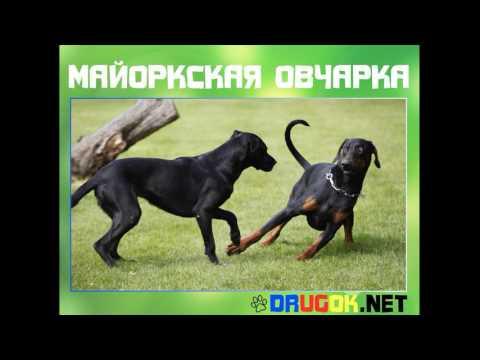 Майоркская овчарка