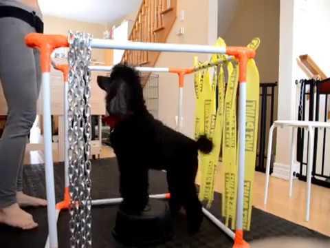Miniature Poodle - Foot Target & Wobbler Balance Platform Training - 2017