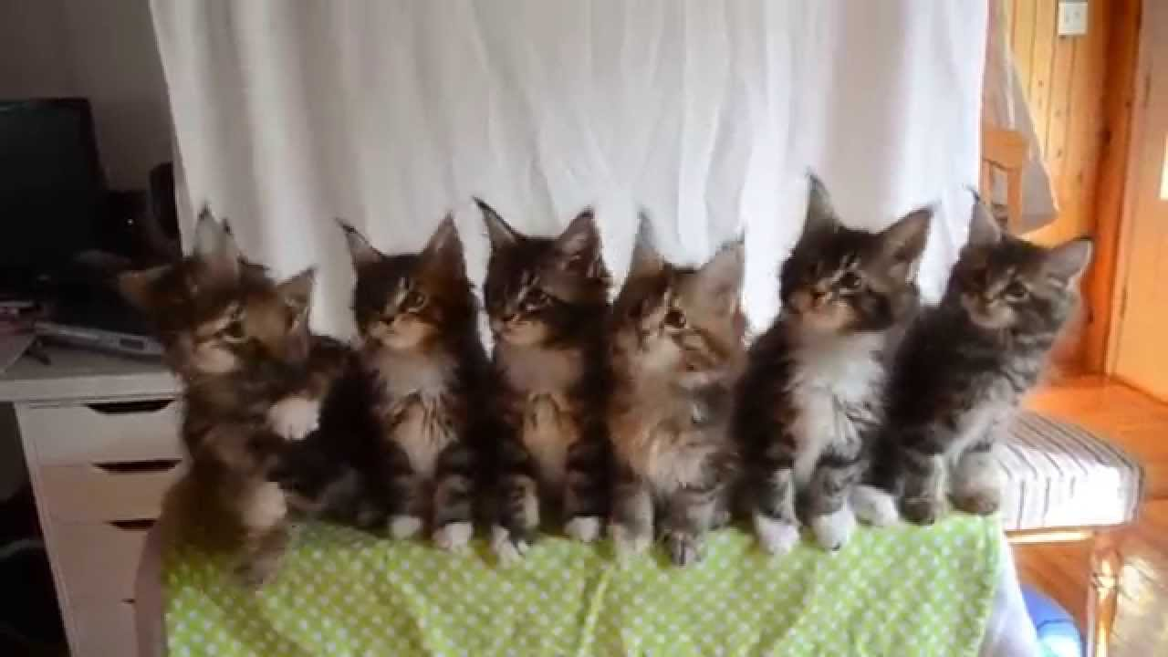 Seven Maine Coon Kittens Perform Synchronized Head Bobbing Routine