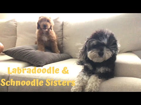 Labradoodle & Schnoodle Sisters