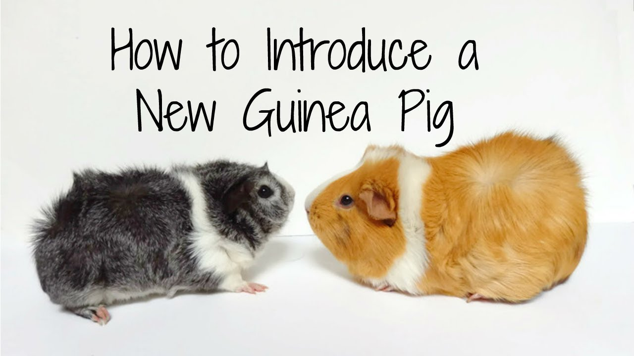photo How to Introduce Your Guinea Pig to Floor Time