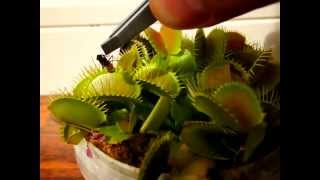 Feeding a venus fly trap (slow motion)