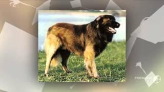 Эштрельская овчарка, или горная собака порода собак