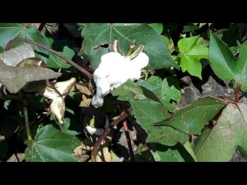 What does a cotton plant look like? Growing cotton in the south