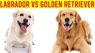 Labrador Retriever Vs Golden Retriever Dog Breed/ Amazing Dogs