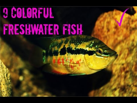 Add Color To Your Tank| 9 Colorful Freshwater Fish