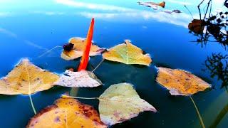 ЖОР САЗАН І КАРАСЯ НА ПОПЛАВОК рибалка восени на уудочку
