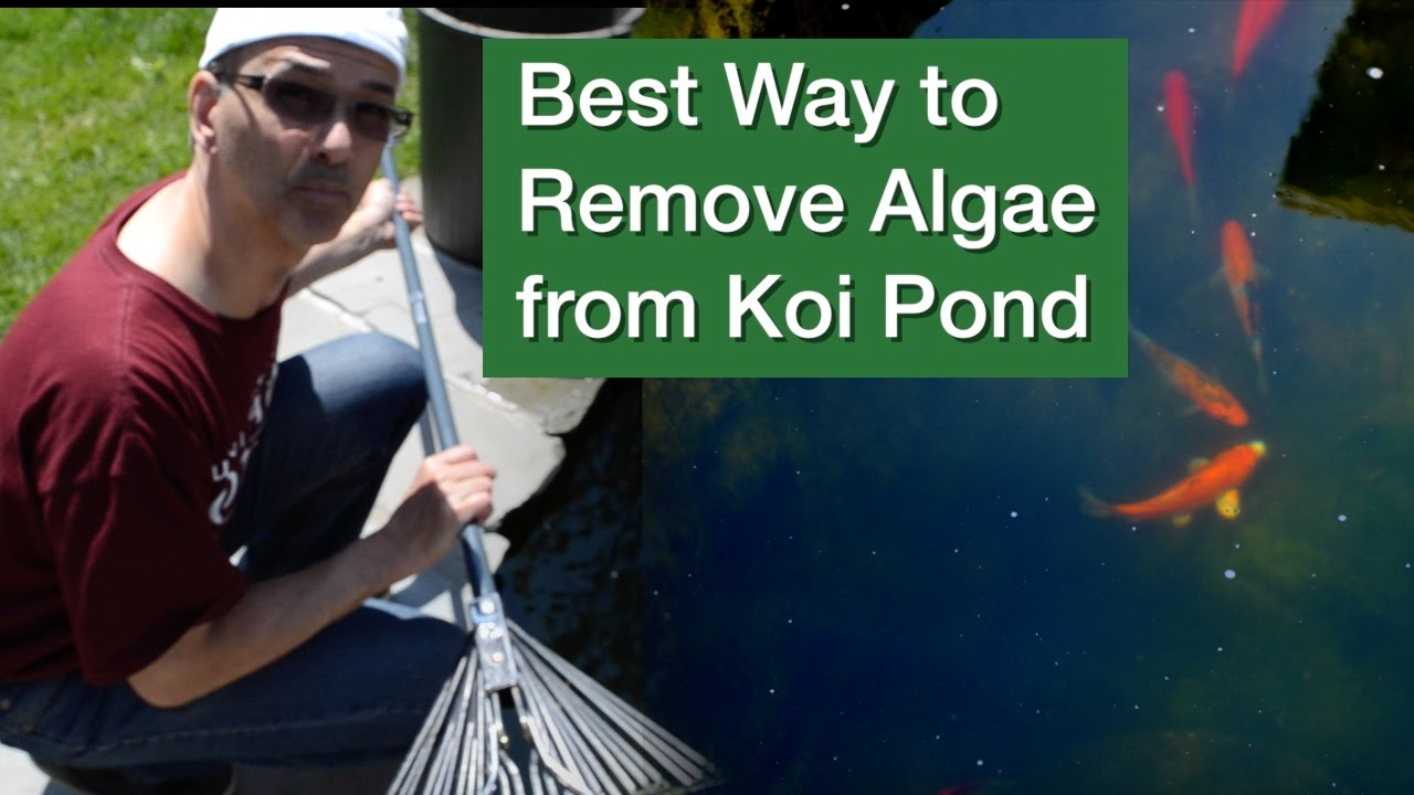 Best Way To Remove Algae From Koi Pond Youtube