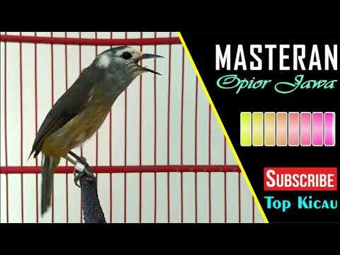 Unduh 500+ Foto Gambar Burung Opior Jawa Jantan  Terbaru Gratis