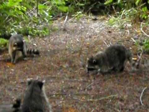 Raccoon Fight @Lost Lagoon, Vancouver, B.C