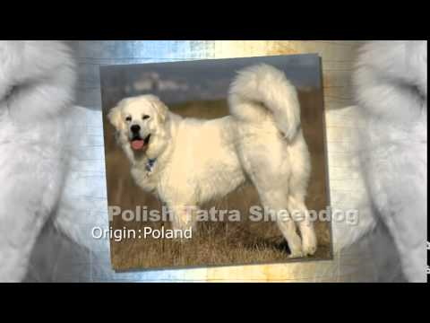 Polish Tatra Sheepdog Dog Breed