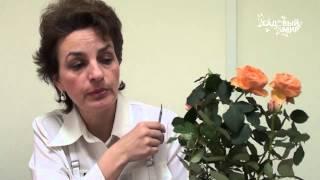 Почему сохнут комнатные миниатюрные розы. Сайт