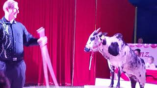 Krowy i osły w cyrku. - Circus Max Renz