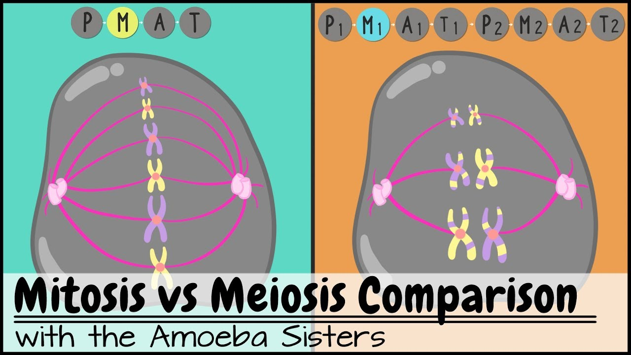 medium resolution of meiosis side by side comparison