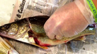 How to fillet a walleye and debone them with the zipper / zipping technique.
