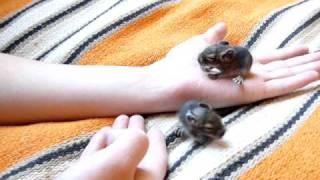 видео Размножение дегу, спаривание