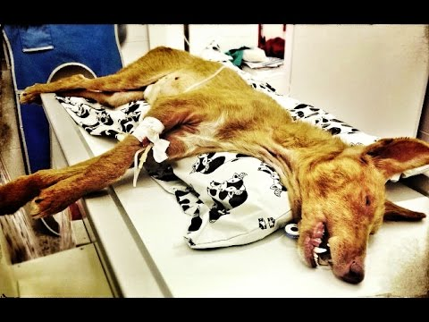 Dog abused and starved amazing recovery and incredible second chance