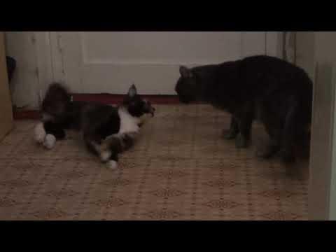 Коту привезли кошку Первая вязка мейн куна