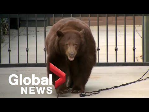 Massive Bear Spotted Wandering California Neighbourhood