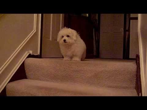 Coton De Tulear puppy learns stairs (Part 2 of 2)