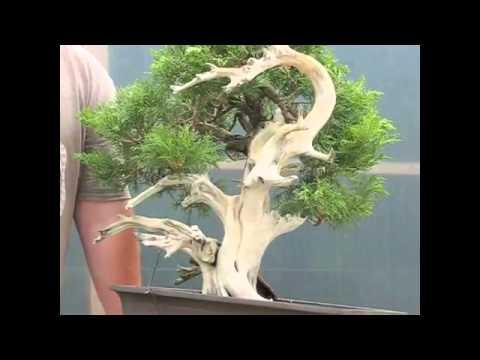 Trình diễn Bonsai  Một vườn Bách trở thành một phần cây bonsai