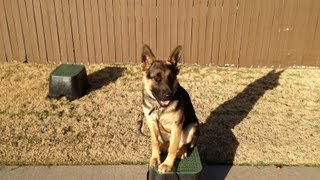 Captain - German Shepherd Puppy Training - Mcallister, Oklahoma