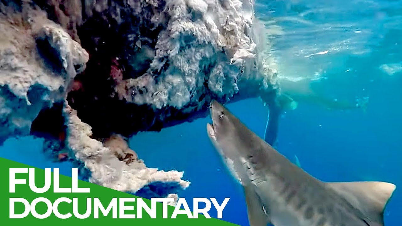 Toxins in Humpback Whales | Ocean Vet | S01 E09 | Free Documentary Nature