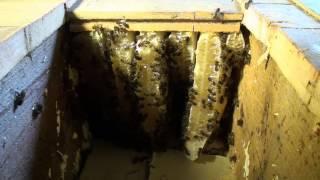 Abeilles. Déloger une colone installée entre plafond et plancher