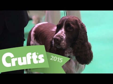 Best of Breed - Springer Spaniel and winner's interview | Crufts 2015