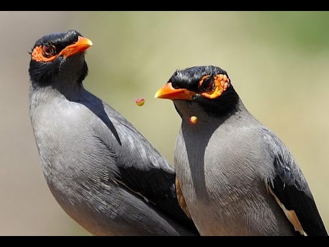 bank myna birds sound english name Acridotheres ... - photo#30