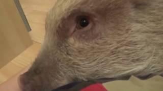 Ласковые свинки