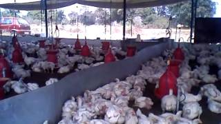 POULTRY FARMING IN ANDHRA PRADESH HYDERABAD