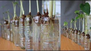 Nay bà nội trợ có thể trồng khoai sọ tại nhà rồi | Now housewives can grow taro at home already